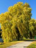 Sunlit Tree - High Park, Toronto