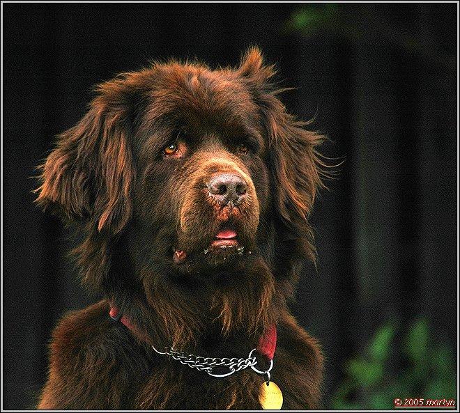 DSC_00170363 newfoundland puppy 1.jpg