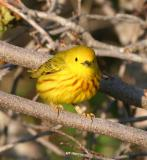 Yellow Warbler, Parker River NWR, May