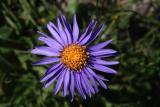 alps_flowers