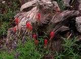 Indian Paint Brush & Lupine