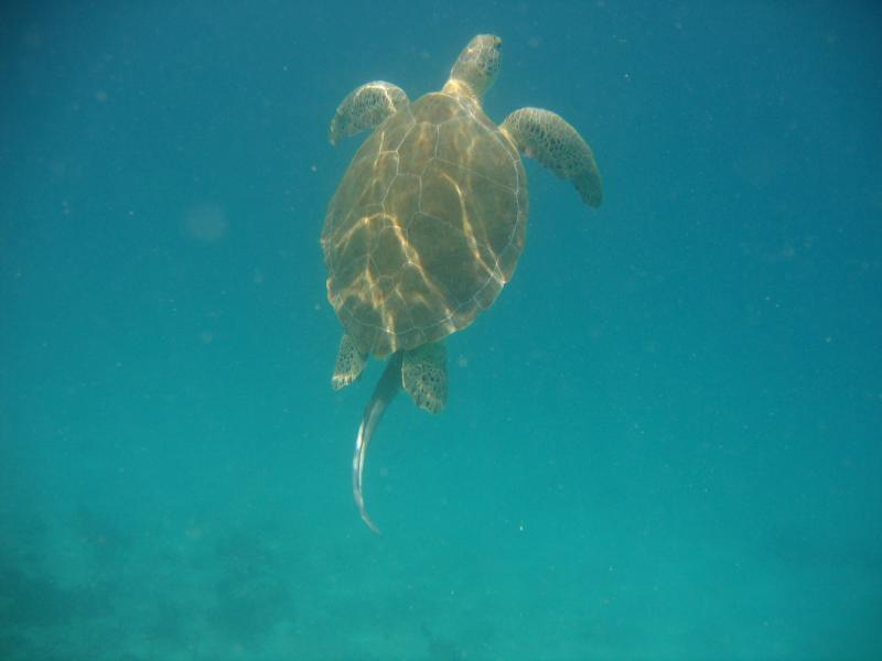 Snorkeling at Waterlemon - Turtle going for air with suckerfish/remora