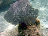 Snorkeling at Salt Pond - fan coral