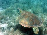 Snorkeling at Salt Pond - Turtle