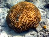 Snorkeling at Waterlemon - Brain Coral