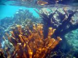 Brown Bay Snorkel - Elkhorn Coral