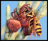 CrabSpider Eating A Wasp