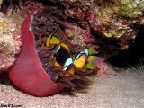Clownfish at dawn