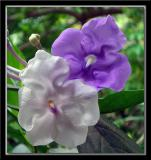 Yesterday, today & tomorrow (Brunfelsia grandiflora)