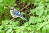 Bluejay in the Trees