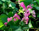 The-Coral-Vine or Rose of Montana
