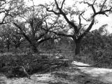 Naked Oaks