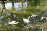 A Few of the Swans Were  Found in Audubon Park in Uptown New Orleans