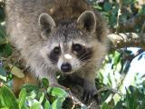The Raccoon That Would Eat My Face