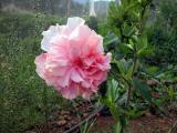 japon gülü, hibiscus