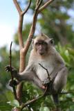Mauritius - Cheeky Monkey (Riviere Noire National Park)