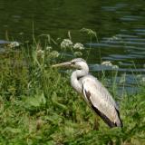 My first heron