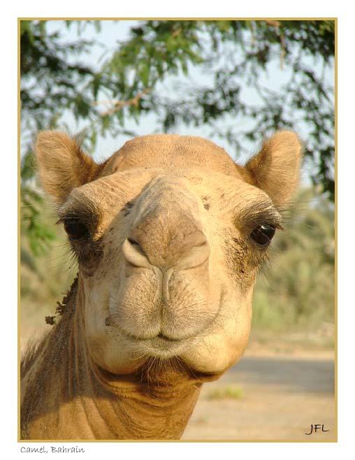 Camel, Bahrain - August 5th