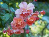 Berkeley Rose Garden 5-29-05