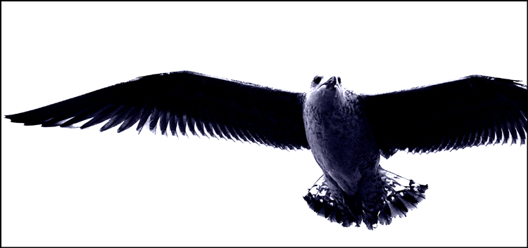 Gull-001 by England Kev.