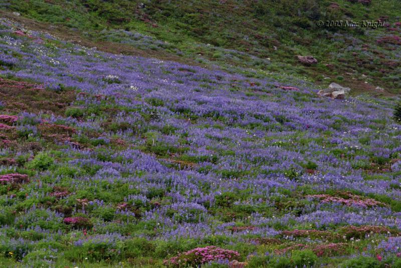 Rainier flower field