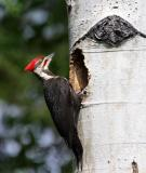male pileated woodpecker at nest-2