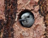 white-headed woodpecker female peeking Mud Lake