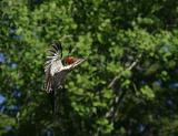 pileated female in flight