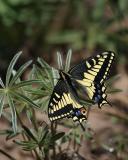 anise swallowtail Bethel Ridge-2