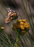 painted lady on flower-1