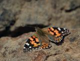 painted lady resting
