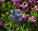 lupin and heather