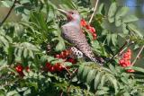 flicker in mt. ash
