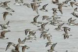 3. Pheasants through Phalaropes