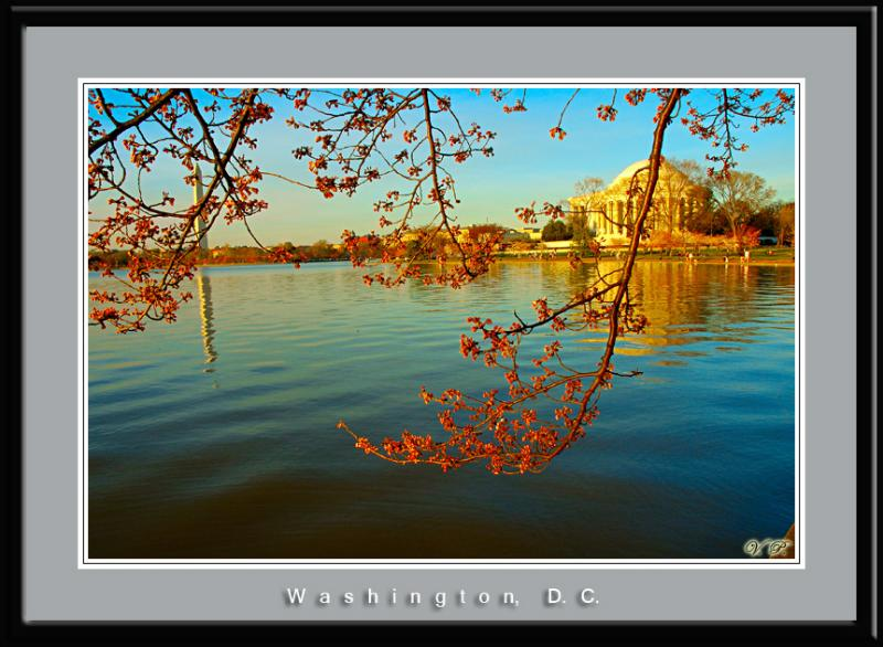 Cherry Blossom, Washington, D.C.