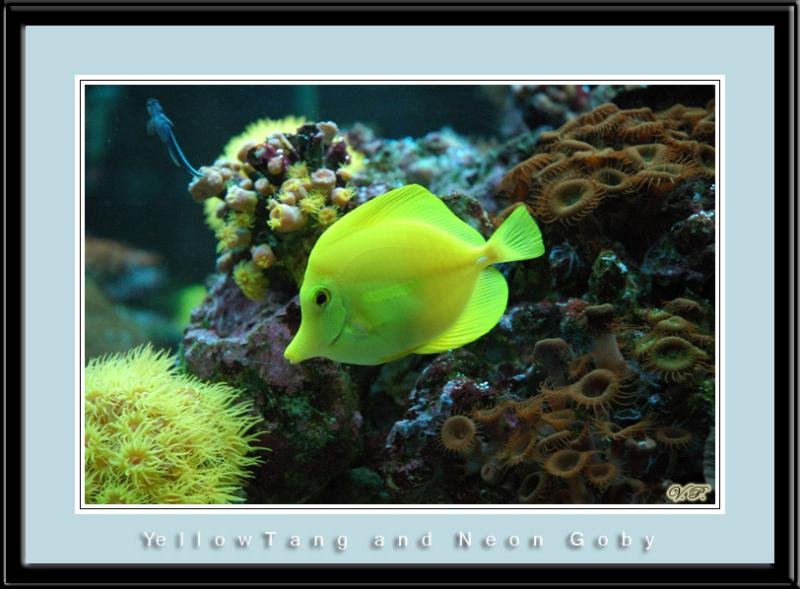 Yellow Tang and Neon Goby