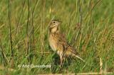 Grote Pieper / Richard's Pipit