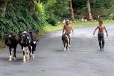 Driving cattle - Porto Formoso, S.Miguel