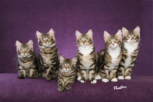 Litter of Six Maine Coon kittens