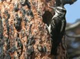 Hairy Woodpecker Female at Nest  0605-6j  Mud lake Burn