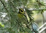 Townsend's Warbler 0504-3j  Little Bald Mtn Road