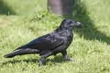Raven with dirty beak on lawn