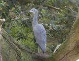 Blue Heron 4633.jpg