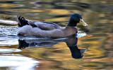 Duck (Duckous Imnotsureous?)