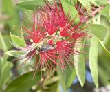 Callistemon - Native Australian Shrub