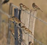 Sparrows_6493.jpg