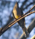Wattle Bird _6738.jpg