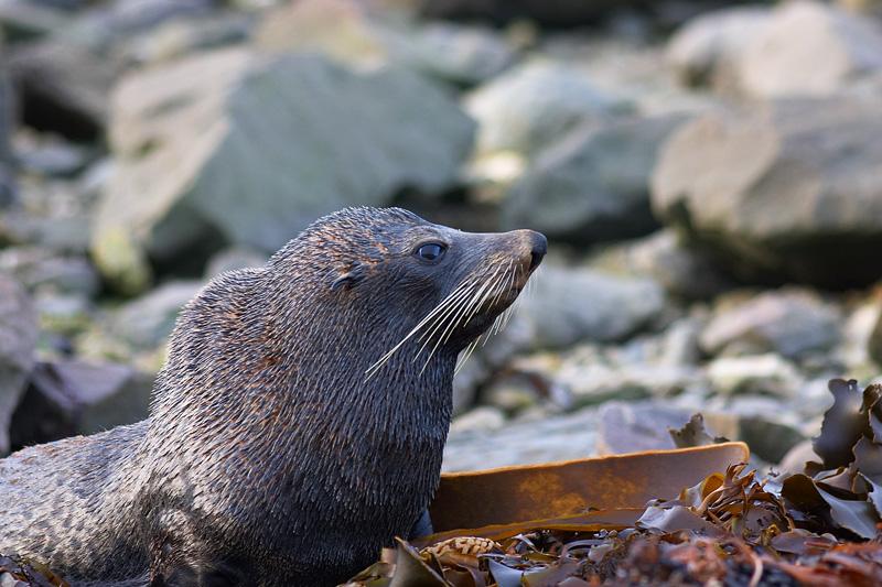 Kaikoura, fur seal