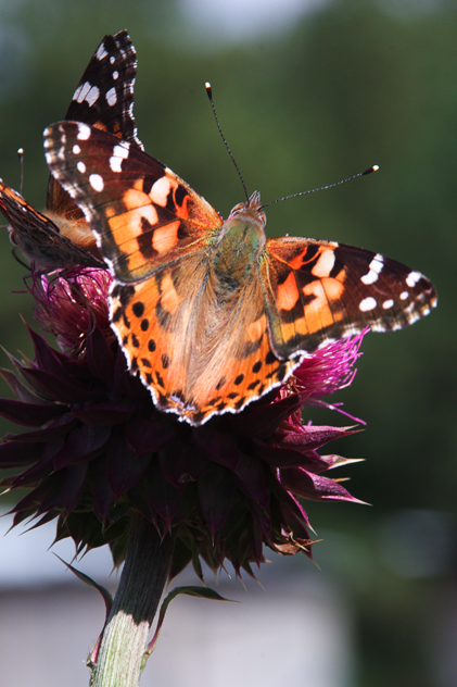 Painted Lady.jpg