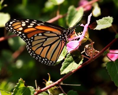 Monarch on native hybiscus.jpg